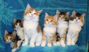 Sweet Male and female Mainecoonkittens